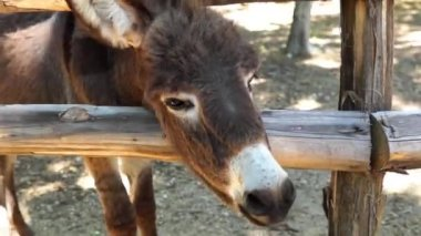 Donkey Chewing — Video Stock