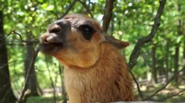 Close-up of cute adolescent lama chewing — Stok video