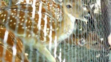 красивые олень — Стоковое видео