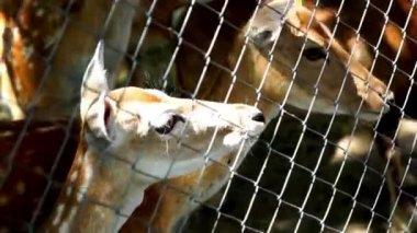 Beau cerf — Vidéo