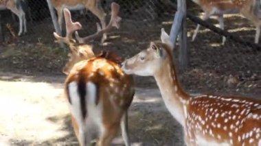 Güzel geyik — Stok video