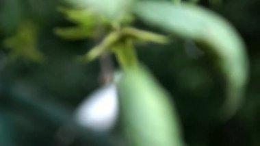 Bílá holubice — Stock video