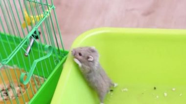 Hamster trying to escape the pan — Stock Video