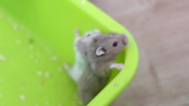 Hamsters trying to escape the pan — Stock Video