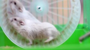 2 hamsters on wheel in cage — Stock Video