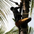 Man climbs on a tree to reap crop of a cocoes — Stock Photo