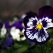 Pansy — Stock Photo #29319849