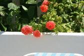 Rose in the garden — Stock Photo