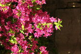 Pink flowers blossom — Stock Photo