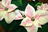 Pink and cream poinsettia — Stock Photo