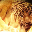 Stock Photo: Angry tiger near fire
