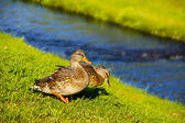 Ducks on the river — Stock Photo