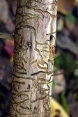 Traces of bark beetle. — Stock Photo