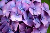 Hydrangea flower — Stock Photo