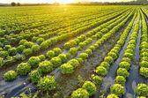 The garden of lettuce — Stock Photo