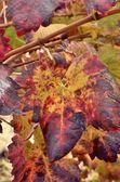 Autumn vineyards — Stockfoto