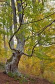 The monstrous beech — Stock Photo