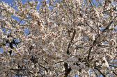 Almond tree — Stockfoto