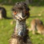 Emu Dromaius novaehollandiae — Stock Photo #47566471
