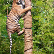 Hunting Tiger climbs up tree. — Stock Photo #25268041