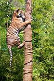 Hunting Tiger climbs up a tree. — Stock Photo