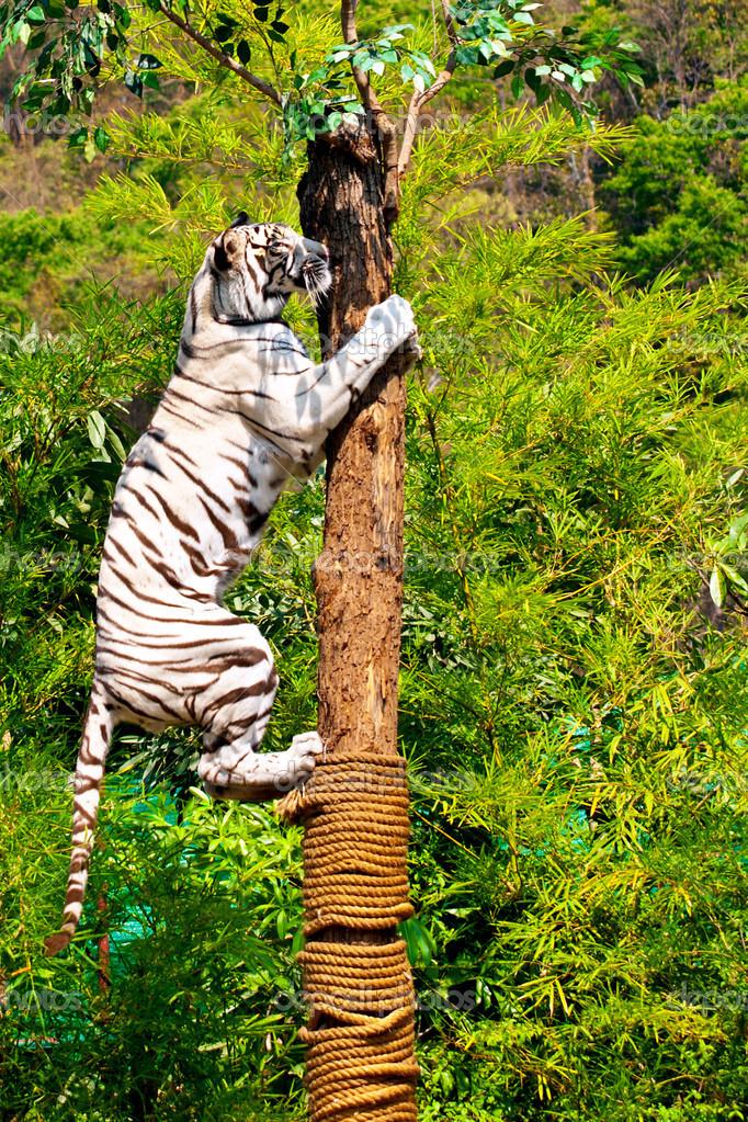 Climbing tiger