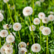 Dandelion — Stock Photo #41601625