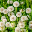Dandelion — Stock Photo #41601627