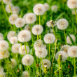 Dandelion — Stock Photo #41601647