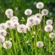 Dandelion — Stock Photo #41601677