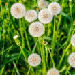 Dandelion — Stock Photo #41601681