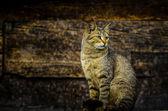 Gato montés — Foto de Stock
