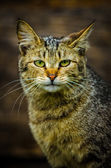 Wild cat — Stock Photo