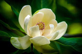 Spring magnolia tree flower — Stock Photo