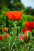 Red poppies — Foto de Stock