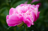 Rose pivoine — Photo
