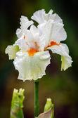 Květina kosatec — Stockfoto