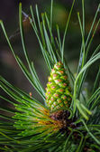Pine with Cone — Stock Photo