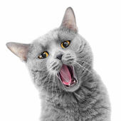 Singing cat — Stock Photo