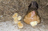 Chickens with mum — Stock Photo