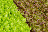 Red oak leaf lettuce — Photo