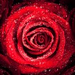 Red Rose with Dew — Stock Photo