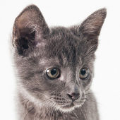 Russian Blue Kitten — Stock Photo