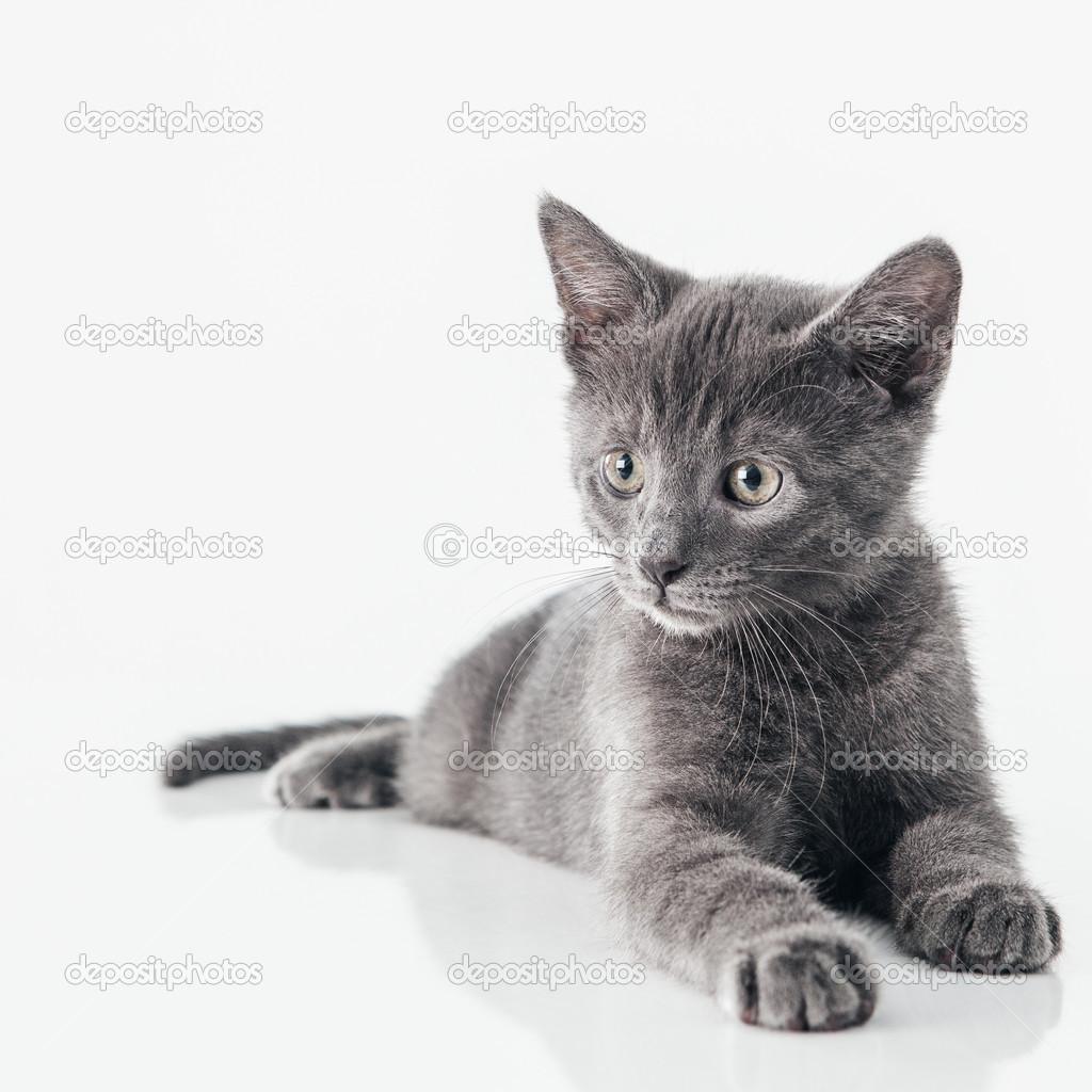 孤立在白色的可爱俄罗斯蓝猫咪— 照片作者 luminastock