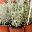 Potted Rosemary — Stock Photo