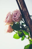 Pink Roses Outdoors — Stock Photo