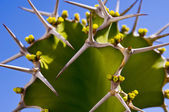 Cactus with thorns — Stock Photo