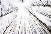 Begen träd — Stockfoto