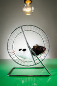 Hamster on the wheel — Stock Photo