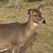 Stock Photo: White Tailed Deer